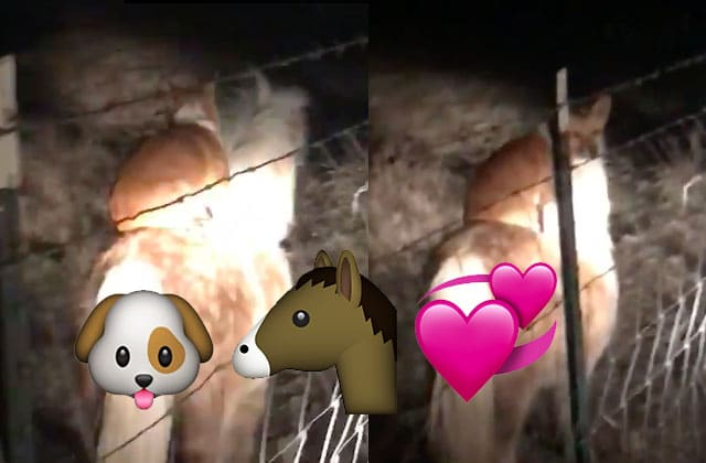 Un corgi fait du poney dans une vidéo car les rêves se réalisent