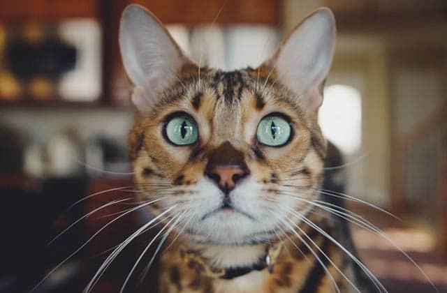 Non, les chats ne prennent pas un malin plaisir à faire tomber vos affaires de la table !