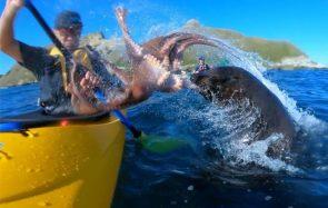 Un PHOQUE gifle un mec en kayak avec UN POULPE