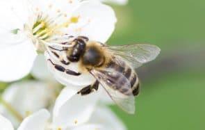 Voici une solution pour aider les abeilles même si tu es en ville