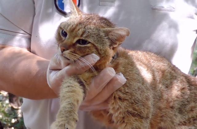 Voici le chat-renard, une nouvelle espèce découverte en Corse