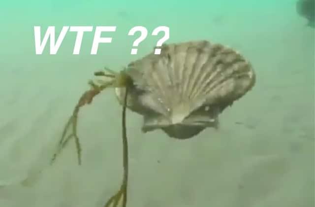 Des coquilles Saint-Jacques qui boudent, chose la plus drôle des océans