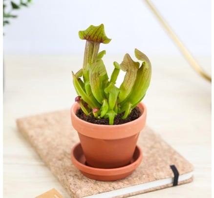 plante carnivore à faire pousser